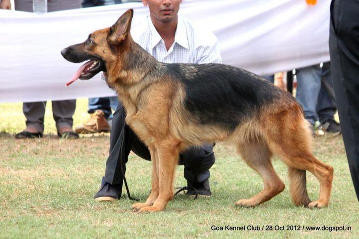 ex-230,german shephard,sw-63,, GOGA WALEPHARM LAND, German Shepherd Dog, DogSpot.in