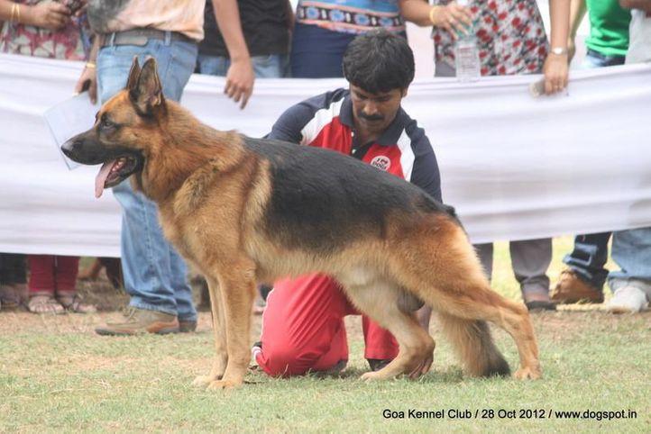 ex-232,german shephard,sw-63,, THIELO VOM HASEDOM, German Shepherd Dog, DogSpot.in