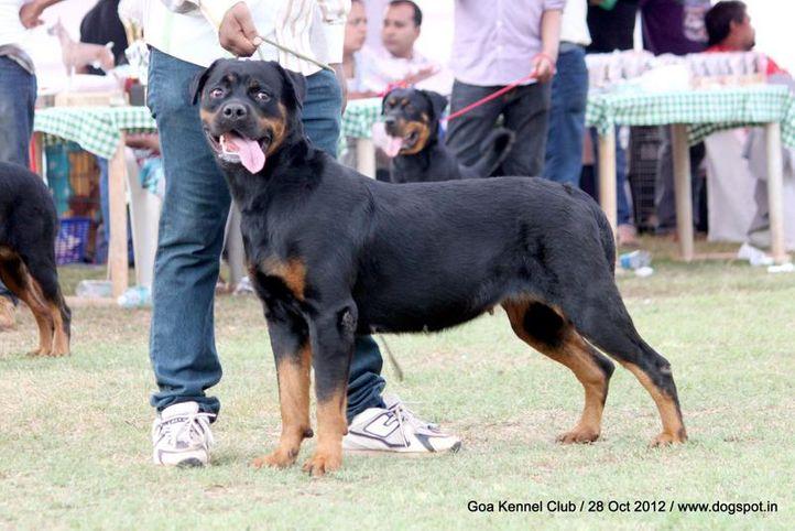 ex-217,rottweiler,sw-63,, TH. CH. KIMBA VOM ROTTMANIA, Rottweiler, DogSpot.in