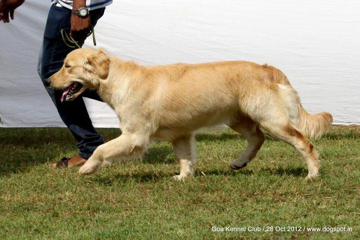 golden retriever,sw-63,, Goa 2012, DogSpot.in