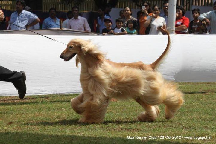 afghan hound,ex-43,sw-63,, PE. JCH. PE. CH. LAT. GCH. PE. CH. EC. CH. CO. UROS OF DEGA AFGHANS, Afghan Hound, DogSpot.in