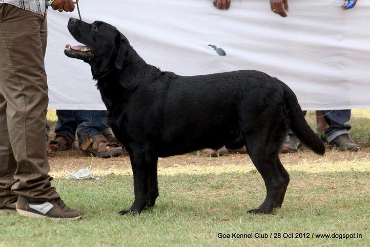 labrador retriever,sw-63,, Goa 2012, DogSpot.in
