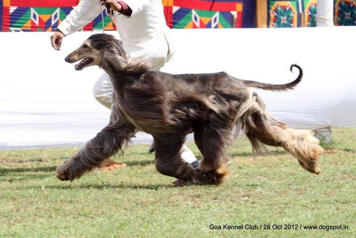 afghan hound,ex-44,sw-63,, AM. GCH. CH. RAFFICA'S VALYMIR SWEET VICTORY, Afghan Hound, DogSpot.in