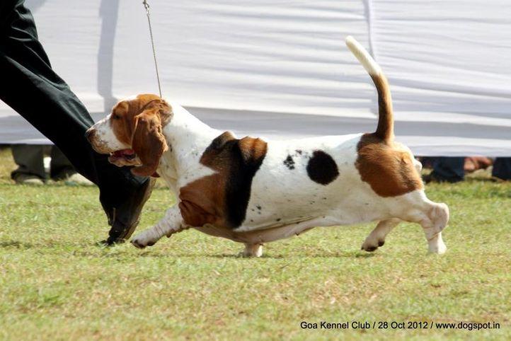 basset hound,ex-46,sw-63,, INC. CH. WINNE DOS SETE MOINHOS, Basset Hound, DogSpot.in