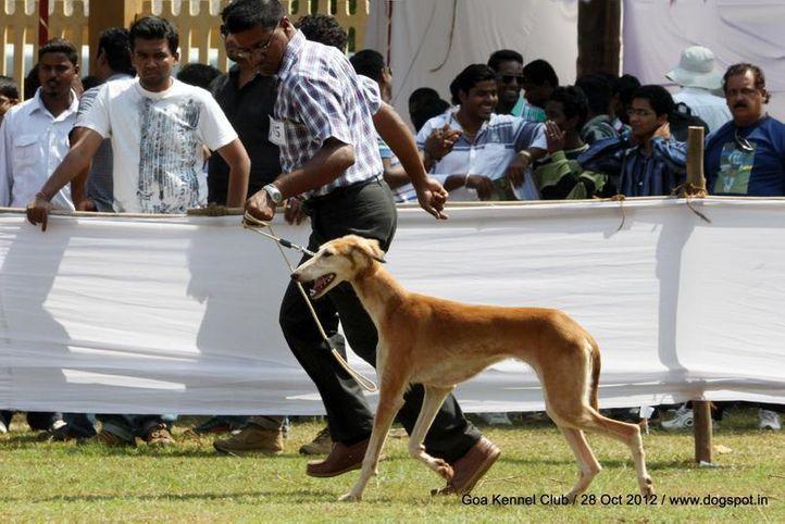 ex-45,pashmi,sw-63,, Goa 2012, DogSpot.in