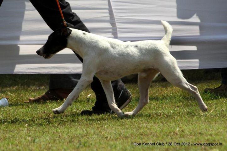 fox terrier,sw-63,, Goa 2012, DogSpot.in