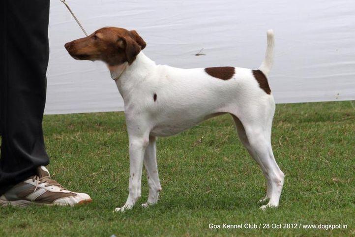 ex-30,fox terrier,sw-63,, VON JAGSBURG'S SUPER DANCER, Fox Terrier- Smooth Hair, DogSpot.in