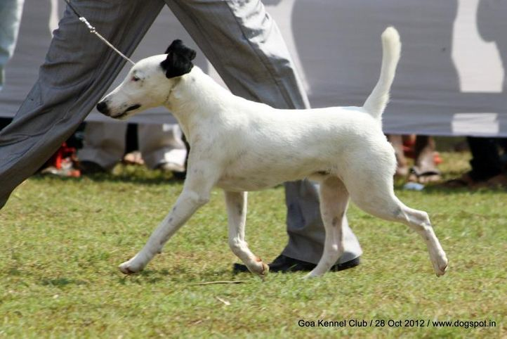 ex-33,fox terrier,sw-63,, SPARTAS ENTER THE DEAGON, Fox Terrier- Smooth Hair, DogSpot.in