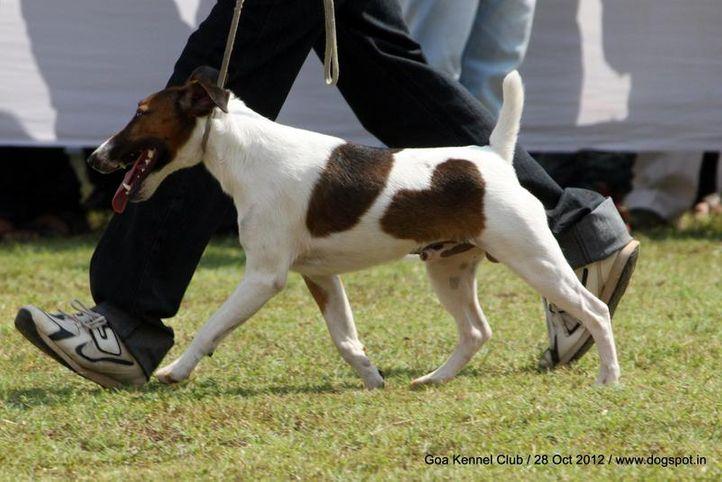 ex-32,fox terrier,sw-63,, ADOLF NOUGHTY BOY, Fox Terrier- Smooth Hair, DogSpot.in