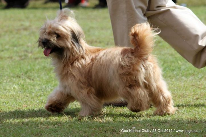 ex-36,lhasa apso,sw-63,, KAYARAA'S HONEY, Lhasa Apso, DogSpot.in