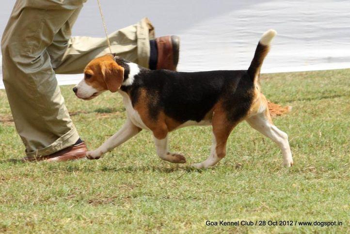 beagle,sw-63,, Goa 2012, DogSpot.in