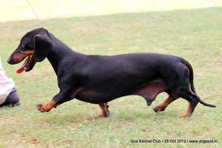 dachshund standard smooth haired,ex-59,sw-63,, BEE HIVE'S DEYWOO'S LALLIPUT, Dachshund Standard- Smooth Haired, DogSpot.in
