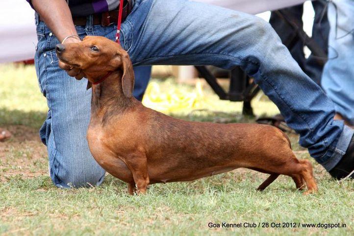 dachshund standard smooth haired,ex-64,sw-63,, RUBEENA OF MARTINDOM, Dachshund Standard- Smooth Haired, DogSpot.in