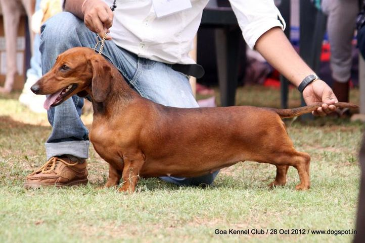 dachshund standard smooth haired,ex-61,sw-63,, DEYWOO'S LOVIANO OF AGMITA, Dachshund Standard- Smooth Haired, DogSpot.in