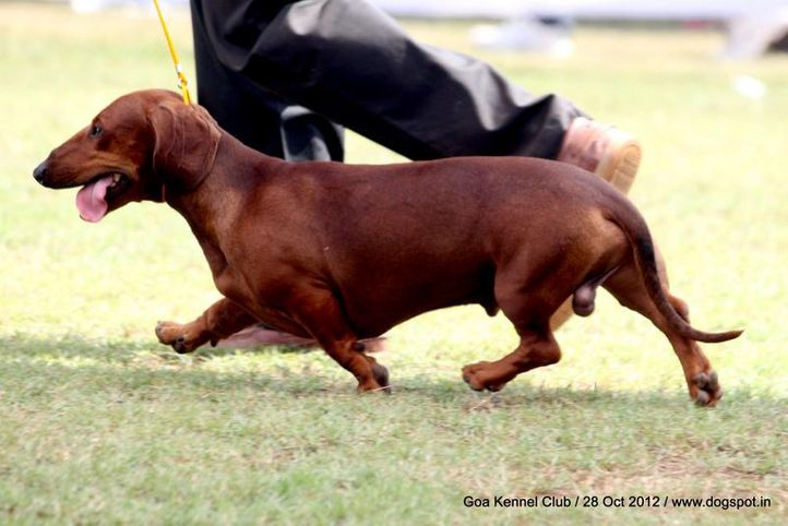 dachshund standard smooth haired,ex-62,sw-63,, OSSYNYNE'S DENNIS, Dachshund Standard- Smooth Haired, DogSpot.in