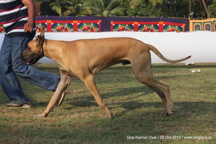 great dane,sw-63,, Goa 2012, DogSpot.in