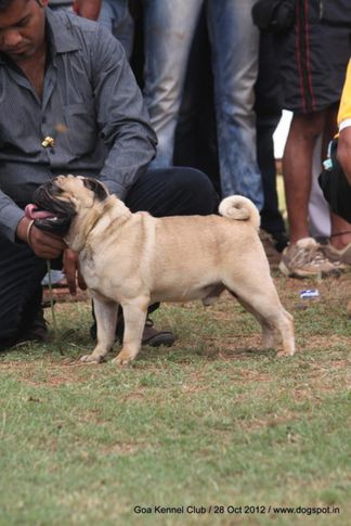 pug,sw-63,, Goa 2012, DogSpot.in