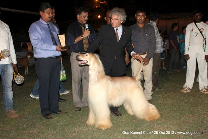 ex-43,final line up,sw-63,, PE. JCH. PE. CH. LAT. GCH. PE. CH. EC. CH. CO. UROS OF DEGA AFGHANS, Afghan Hound, DogSpot.in