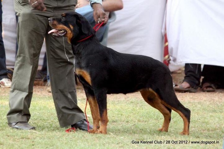 rottweiler,sw-63,, Goa 2012, DogSpot.in