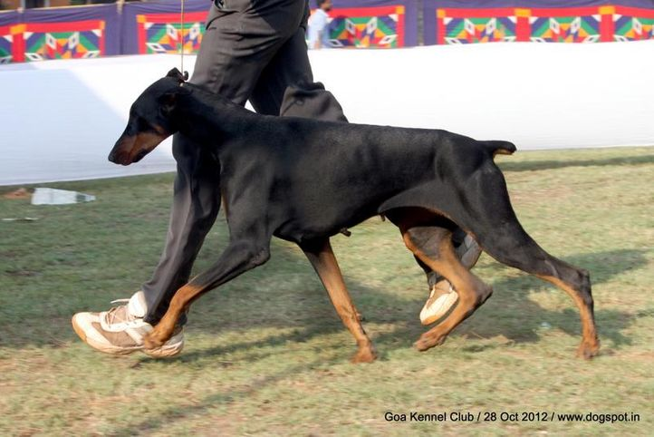 doberman,sw-63,, Goa 2012, DogSpot.in