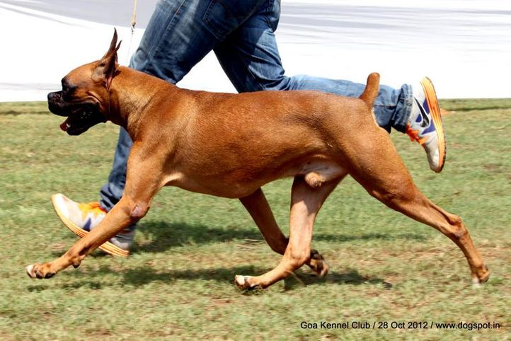 boxer,ex-128,sw-63,, NEXT STEP'S LOOK AT ME NOW, Boxer, DogSpot.in