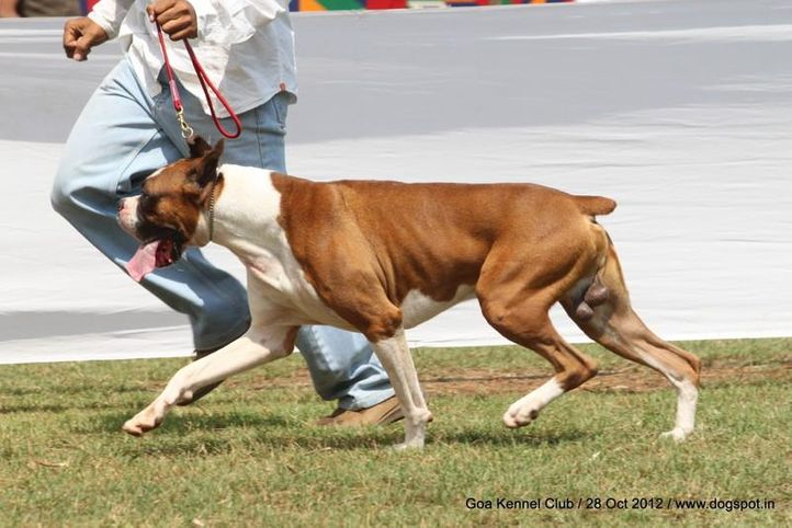 boxer,ex-136,sw-63,, SHADE'S ROCKY BIRD, Boxer, DogSpot.in