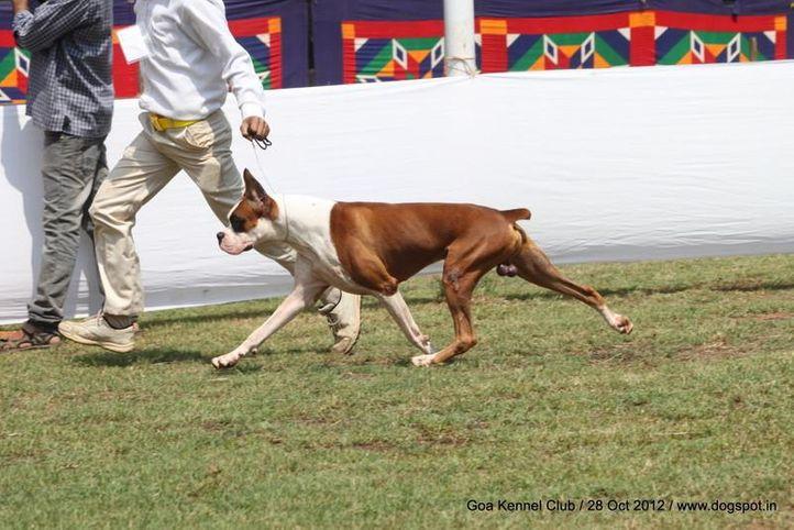 boxer,ex-133,sw-63,, ZAWODAS KHIRO, Boxer, DogSpot.in