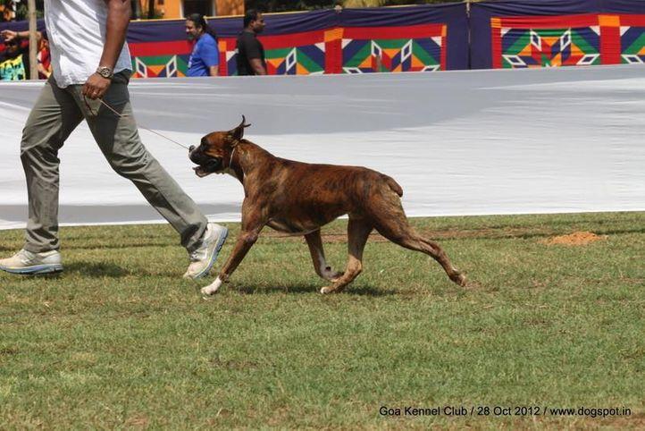 boxer,ex-130,sw-63,, LASTELL'S ZORRO, Boxer, DogSpot.in