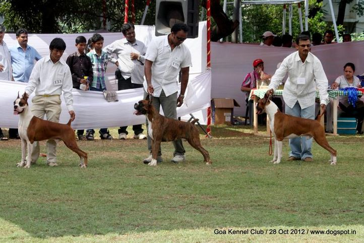 boxer,sw-63,, Goa 2012, DogSpot.in