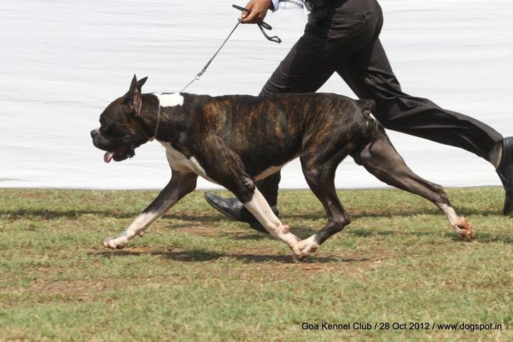 boxer,ex-126,sw-63,, JIT'S BLACK CURRENT, Boxer, DogSpot.in