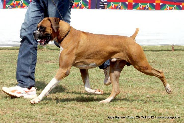 boxer,ex-134,sw-63,, CONAN DESTROYER, Boxer, DogSpot.in