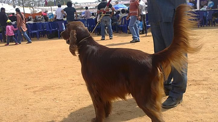 bangalore dog show photos, Golden retriever, DogSpot.in