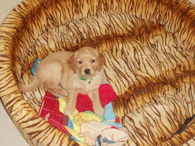 my golden retriever don, My Golden retriever(DON), DogSpot.in