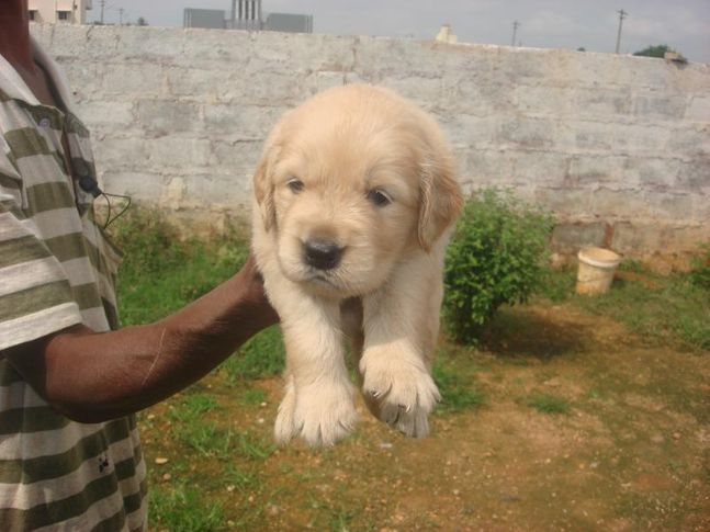 golden retrievers of blue eye kennels, GOLDEN RETRIEVER'S OF BLUE EYE KENNELS, DogSpot.in