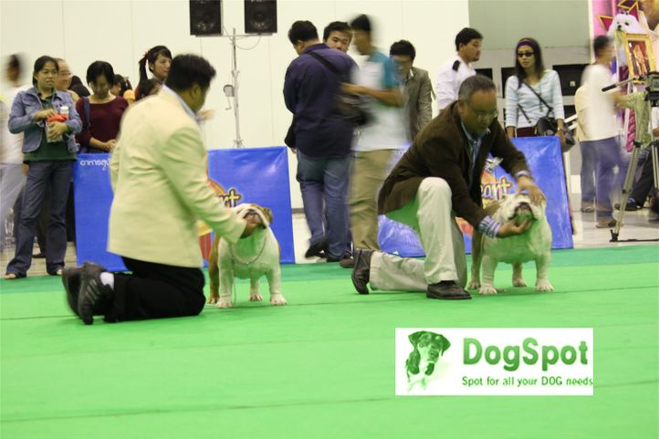 BullDog,, Grand Show Thailand 2009, DogSpot.in
