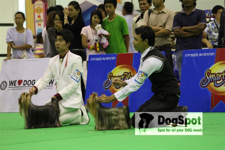 Yorkies,, Grand Show Thailand 2009, DogSpot.in