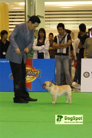 BullDog,, Grand Show Thailand 2009, DogSpot.in