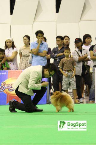 pomeranian,poms,, Grand Show Thailand 2009, DogSpot.in