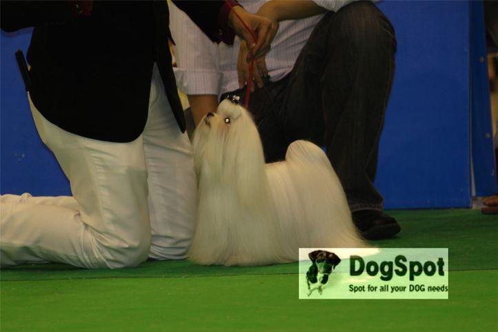 Maltese,, Grand Show Thailand 2009, DogSpot.in