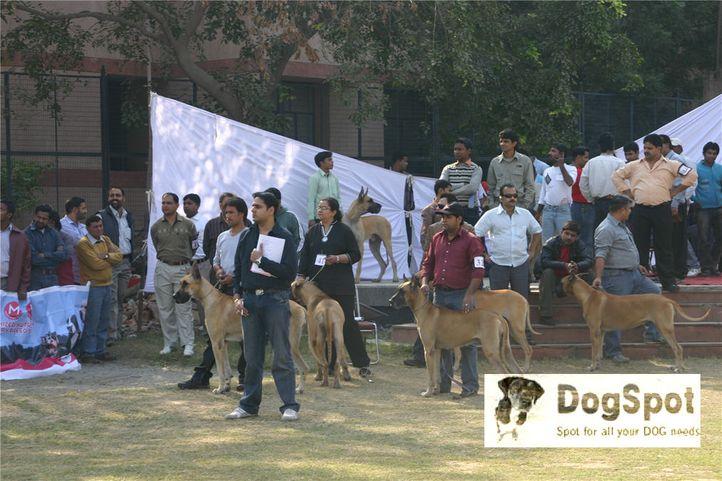 greatdane,gdci,, Great Dane National Show- Delhi 2008, DogSpot.in