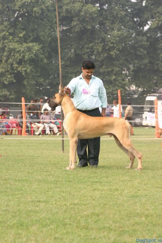 Great Dane, Great Dane, DogSpot.in