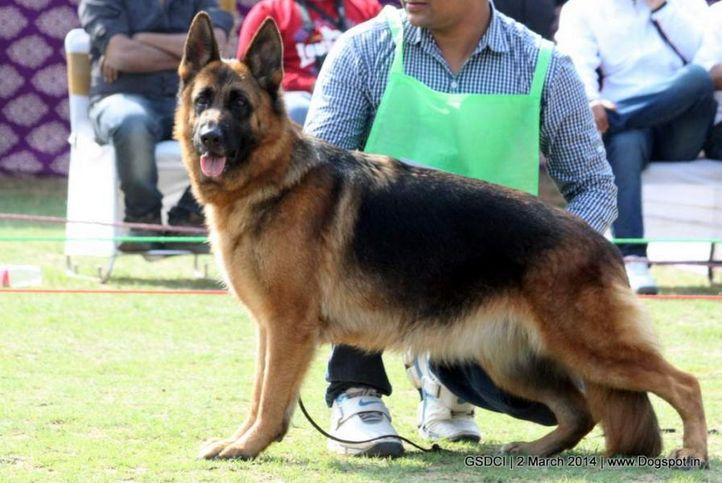 ex-81,sw-119,, LANA, German shepherd dog, DogSpot.in