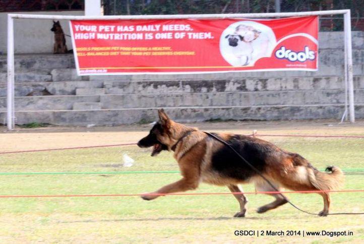 ex-76,sw-119,, FRONTLINE FIPPSI, German shepherd dog, DogSpot.in
