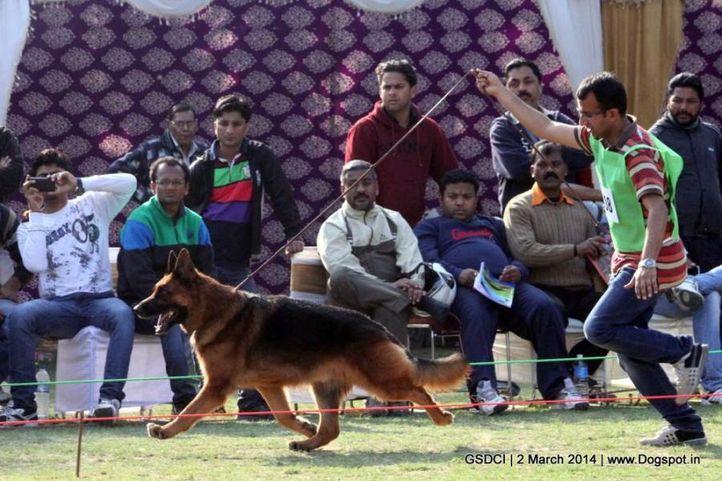 ex-108,sw-119,, SG1 NANTE VOM ZELLWALDRAND, German shepherd dog, DogSpot.in