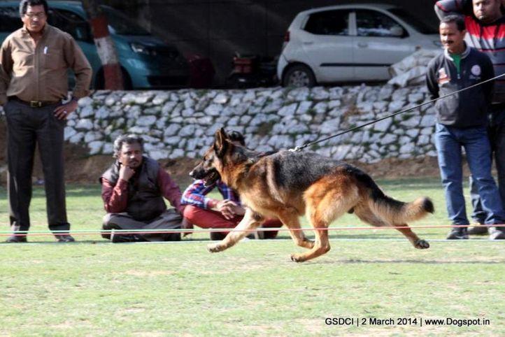 ex-109,sw-119,, JURI VOM STIEGLERHOF, German shepherd dog, DogSpot.in