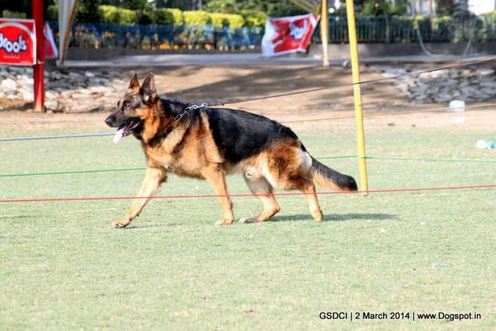 ex-112,sw-119,, AROC VON HAUS SHERGILL, German shepherd dog, DogSpot.in