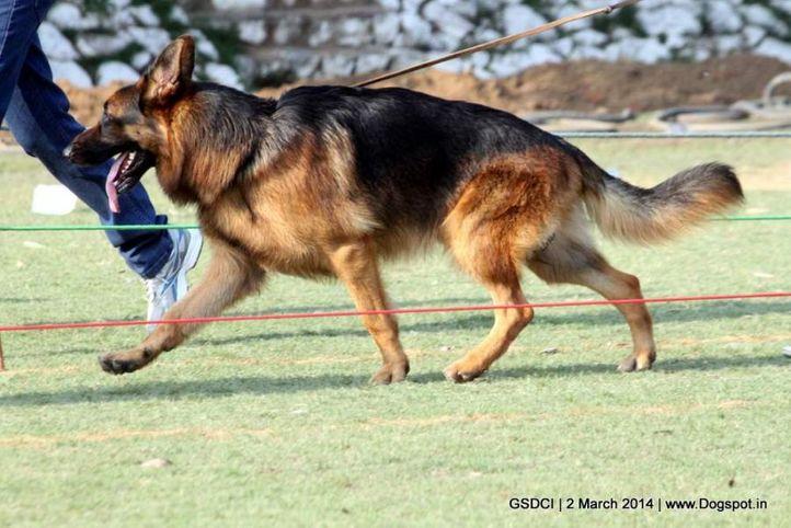 ex-90,sw-119,, LASS DAS VOM FERROUS, German shepherd dog, DogSpot.in