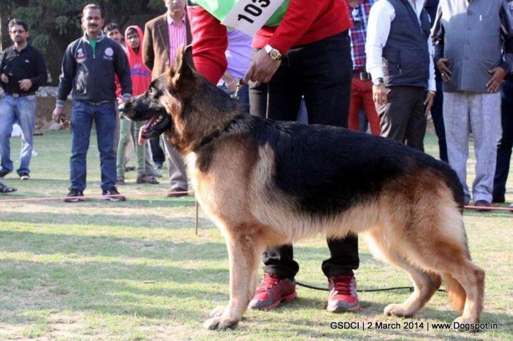 ex-103,sw-119,, ZAP OF DADHWAL, German shepherd dog, DogSpot.in