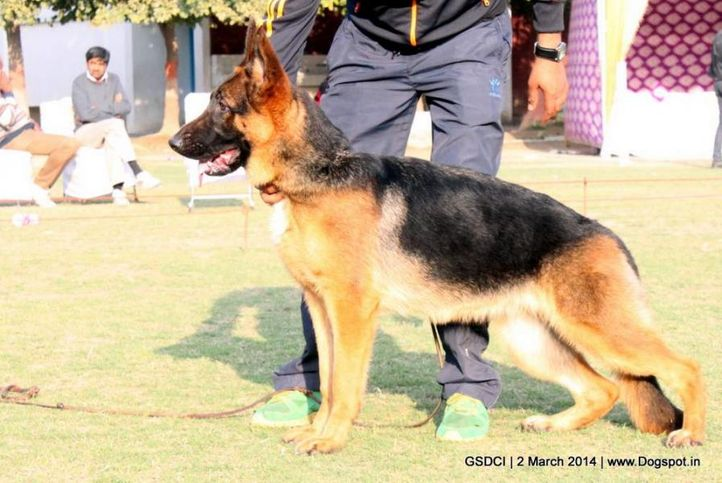 sw-119,, GSDCI 2014, DogSpot.in