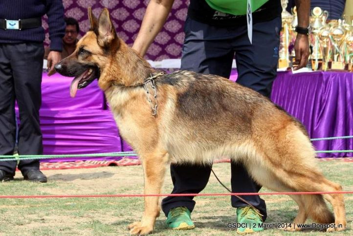 ex-45,sw-119,, BLITZHAUS RUSTY, German shepherd dog, DogSpot.in